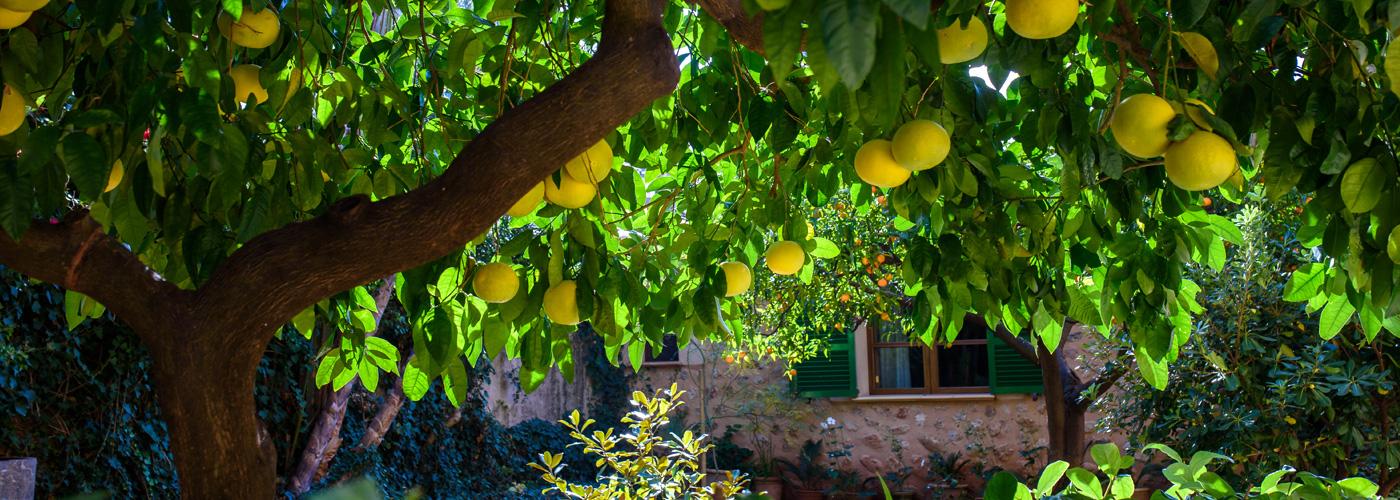 soller orange trees